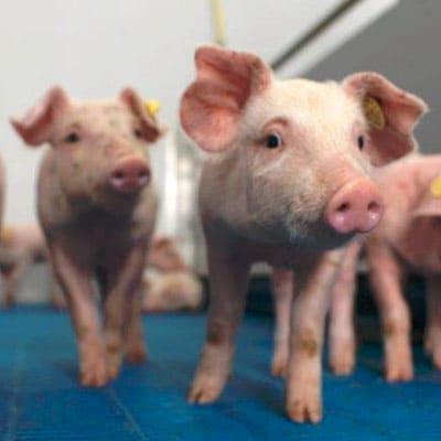 Offre porc
